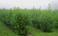Nigeria has a 'Madagascar herb' plantation
