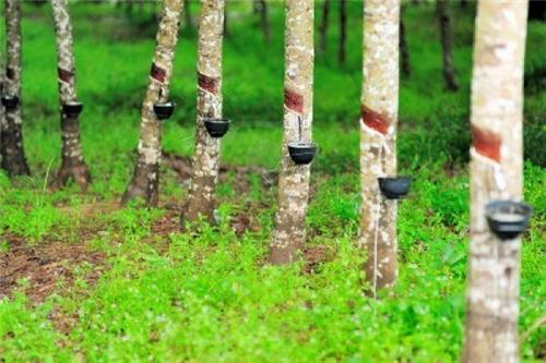 How to Start Rubber Plantation