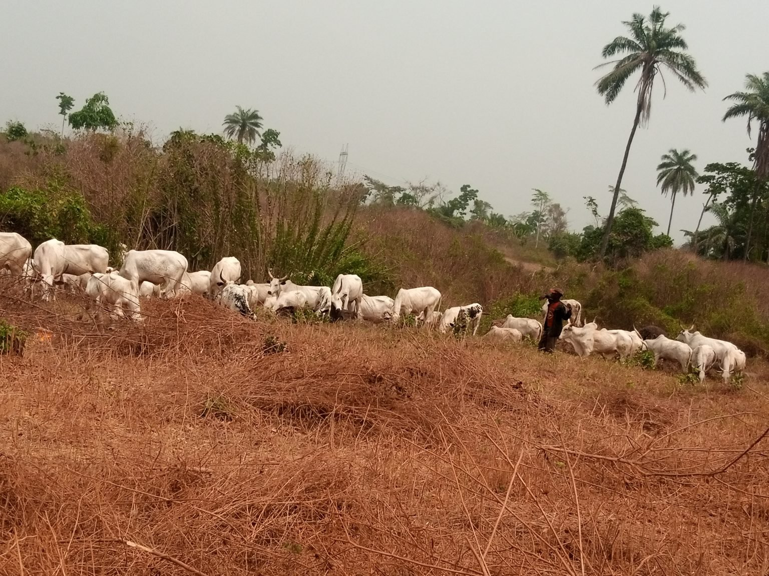 Amotekun chase out over 30 herders, 5,000 cows out of Ondo forest reserves